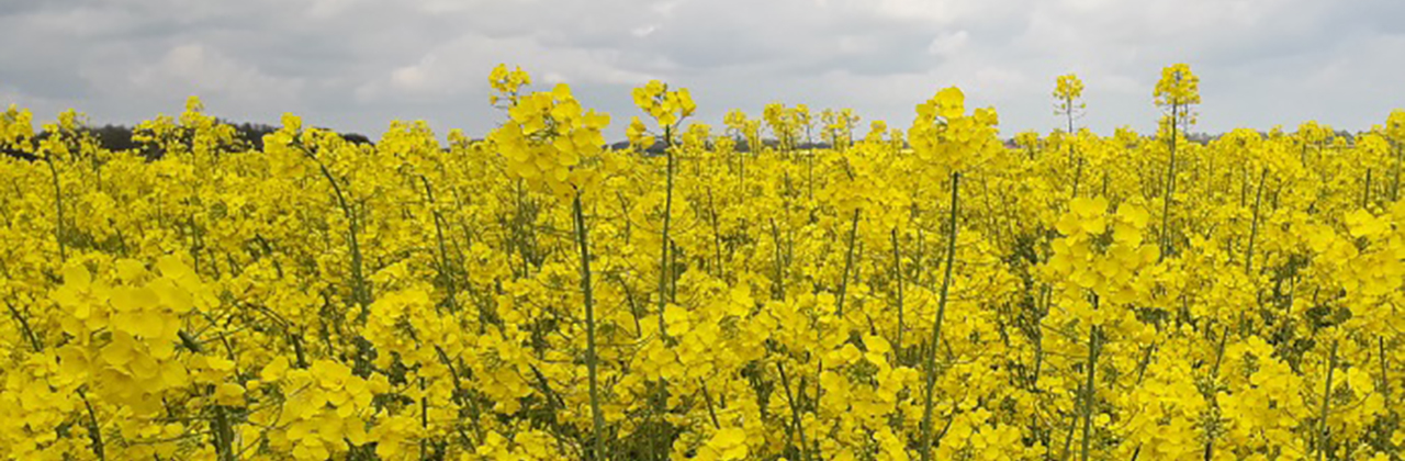 Flowering_rapeseed_field_GCIRC.jpg